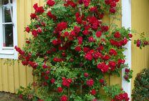 Eplehagen Roses