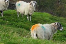 Sheep Yorkshire Dales / Photos of sheep