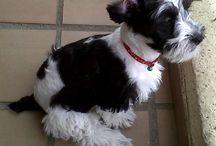 I love poodle cross dogs / Dog lover