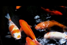 Koi Fish Ponds