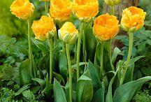 Тюльпаны - tulpain