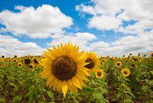Sunflower / Sunflowers!