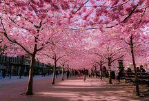 Sakura - festivalul înfloririi cireşilor din Japonia / Înflorirea cireşilor în Japonia este un adevărat eveniment şi nici nu e de mirare, pentru că frumuseţea şi parfumul acestor flori sunt indescriptibile în cuvinte. Cu peste 300 de specii de copaci, Sakura a devenit un festival în sine al culorii şi al miresmelor.
