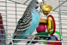 Our Budgie