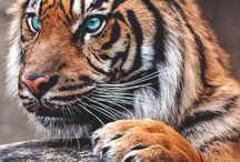 Tiikeri +muut isot kissat