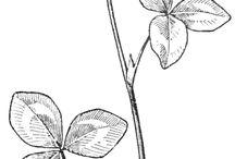 Fiore trifoglio