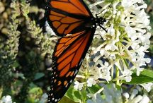 Plants that Attract Butterflies / These are perennials and shrubs that attract butterflies (and bees)!