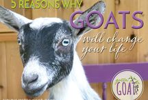 Goats / All things related to the goats at GottaGoat Farm (and maybe a few others that we love!)