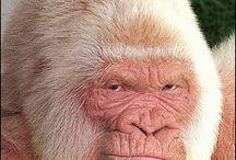 albinoism