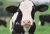 My love for cows / by Claudia Garland