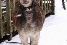 asini, donkey