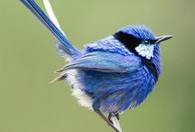 Fabulous birds / Fairy wrens