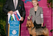 Dunham Lake Australian Terrier Show Dogs / Loving and raising Award Winning including Multi- Best in Show and Best of Breed at Westminster Australian Terriers in the Midwest, USA, Wisconsin and Minnesota