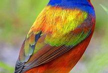 uccelli colorati