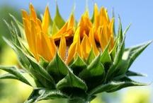 ***Sunflower Love*** / My Love.... / by Marilyn Lisenbee