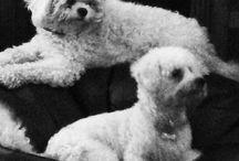 Pes bichon