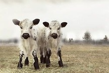 cattle / by mike swoveland