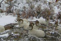 Reference: Dall Sheep