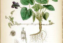 Viola planches botaniques