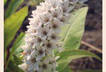 Kukkasia / #flowers#garden#kukat#puutarha