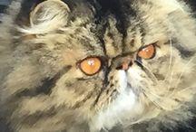 Persian cats / Persian cats