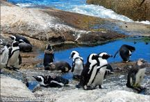 African Penguins / also known as Jackass Penguins, Spheniscus demersus (Latin) and Blackfoot Penguins.  You will find these Penguins at Stoney Point, Betty's Bay and also Boulders Beach in South Africa