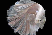 Betta Fish / Beautiful Bettas