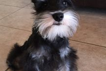 Adorable mini schnauzer puppies / Adorable mini schnauzer puppies of Pinterest