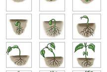 növényes