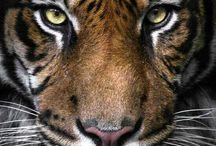 Τίγρεις- Tigers