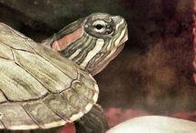 Aquatic Turtles