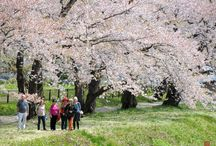 North Sakura Tour