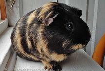 ~ Guinea Pig