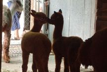 Alpacas / All about alpacas, what you should know, how to care for them, and how to process their fleece. / by Heartland Farm