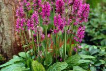 Stachys schöne Pflanze