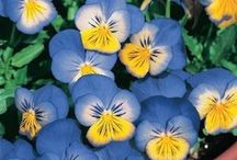 Pearls, and Pines and Pansies! / The symbols of TriDelta