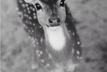 deer, reindeer,roa,-őz