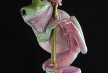 Frog olympics / Grodor som tävlar i os