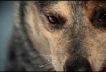 Australian Cattle Dogs / Blue Heelers Rule. And Red Heelers.