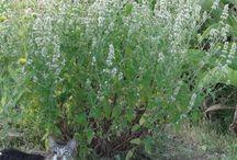 herbes guerrisseuses