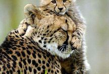 Cheetahs / I have a pet cheetah named Paladin. This is for him.