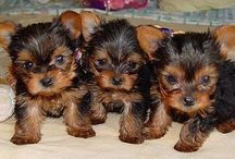 """Yorkshire Terriers / Yorkshire Terriers, affectionately known as """"Yorkies,"""" offer big personalities in a small package. Though members of the Toy Group, they are terriers by nature and are brave, determined, investigative and energetic. They have long, luxurious blue and tan coats. This portable pooch is one of the most popular breeds according the AKC® Registration Statistics."""