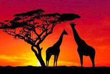 Züraffa