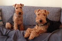 beautiful terriers
