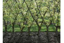 fák metszése és korona-alakítása