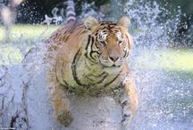 Bengal tigers playing in water / Rare footage has emerged of three Bengal tigers splashing around playing a terrifying game of cat and mouse.  The pictures are among the first to capture the endangered species front on looking them in the eye as they hurtle towards their prey.  The three big cats were caught on camera at The Institute of Greatly Endangered and Rare Species (T.I.G.E.R.S) wildlife reserve in Myrtle Beach in South Carolina. | www.petnook.in