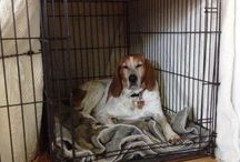 Cressida / The life of a Red Tick Coon Hound