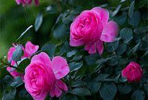 Trandafiri gif