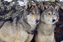 گرگهای ما