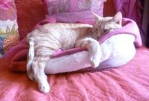 chat roux / Les chats roux et leur espièglerie, leurs pauses...